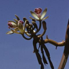 Inflorescences: Vanilla dilloniana. ~ By R. A. Howard. ~ Copyright © 2020. ~  ~ Smithsonian Institution