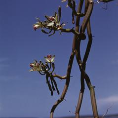 Plant form: Vanilla dilloniana. ~ By R. A. Howard. ~ Copyright © 2020. ~  ~ Smithsonian Institution