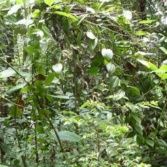 Habit: Vanilla mexicana. ~ By Roger Graveson. ~ Copyright © 2019. ~  ~ www.saintlucianplants.com