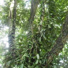 Habit: Vanilla planifolia. ~ By Roger Graveson. ~ Copyright © 2019. ~  ~ www.saintlucianplants.com