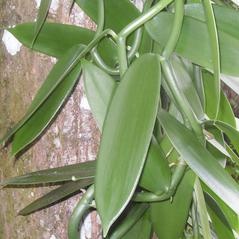 Leaves: Vanilla planifolia. ~ By Roger Graveson. ~ Copyright © 2021. ~  ~ www.saintlucianplants.com